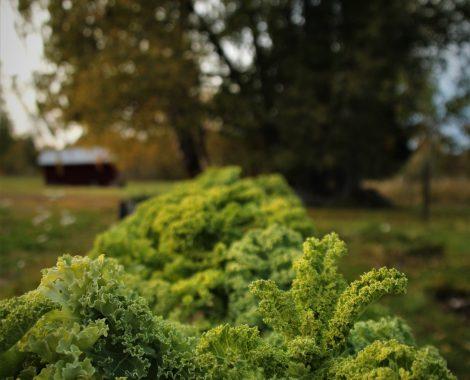 Grönkål avlång bild
